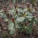 Small photo of Red Trillium