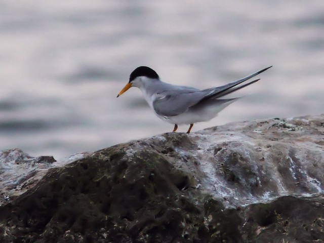 Least Tern feeding sequence 99-20140416