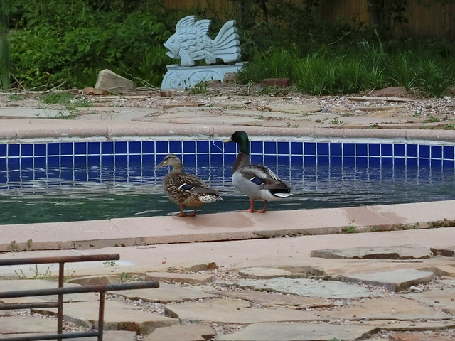 Helping Themselves to Our Pool