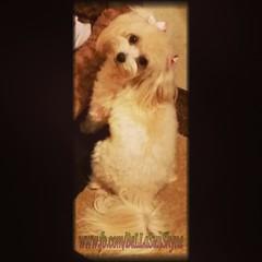 Gnight Luvz. ;)  #malteselovers #Mrz_BeLLaSunShyne #maltese #maltipoo #petstagram #puppylove #poodle #follow #pet #woof #igdog #icanimals #ilovemydog #cutest_dog_of_the_week #cutest_pet_of_the_week #cute #dogoftheday #dog_of_the_day #dogstagram #doglover