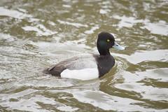 animal, water bird, duck, wing, water, fauna, close-up, mallard, seaduck, beak, bird, wildlife,