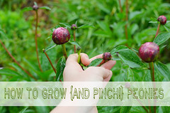 1 how to grow pinching peonies