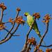 Rose-ringed Parakeet, Satpura NP, India 2014
