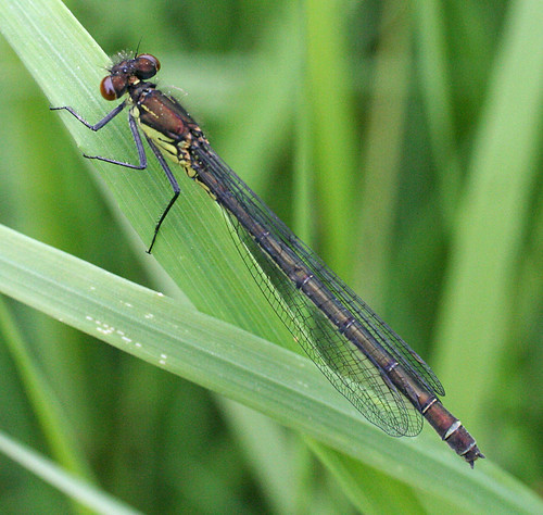 Red-eyed Damselfly Erythromma najas Tophill Low NR, East Yorkshire May 2014