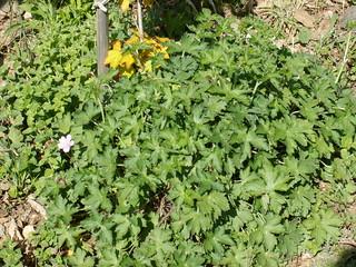 Geranium vivace à identifier