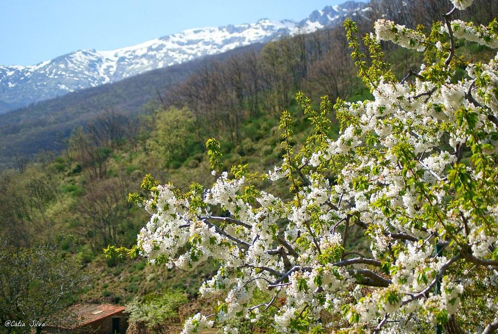 Extremadura-Valle del Jerte-Cerezo en Flor (12)