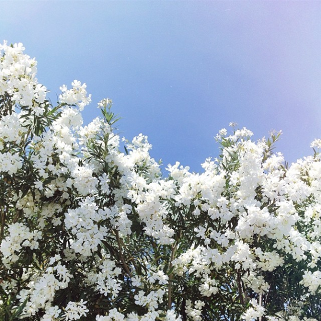 whitesummerflowers