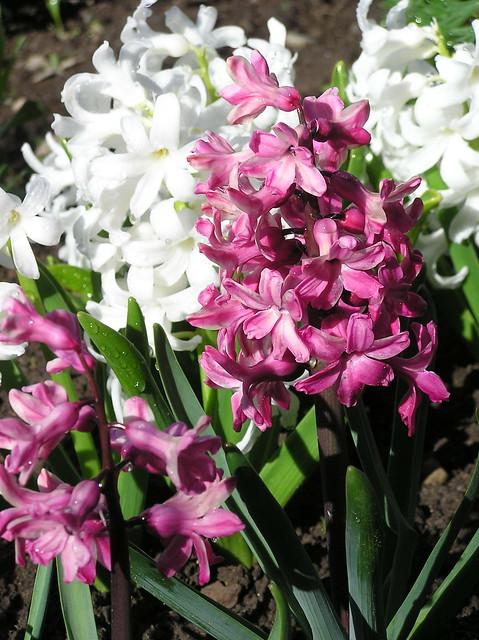 Hyacinthus orientalis 'Jan Bos'