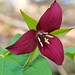Red Trillium - Photo (c) Distant Hill Gardens, some rights reserved (CC BY-NC-ND)