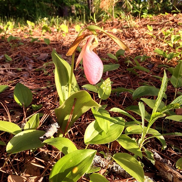 The lady slippers are in bloom. #orchid #maine