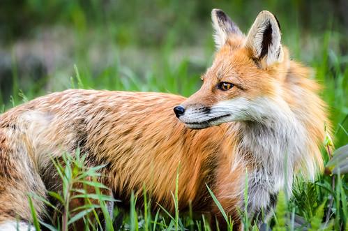 2014 06 01 Fox 007