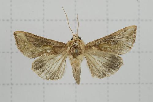 弧金翅夜蛾