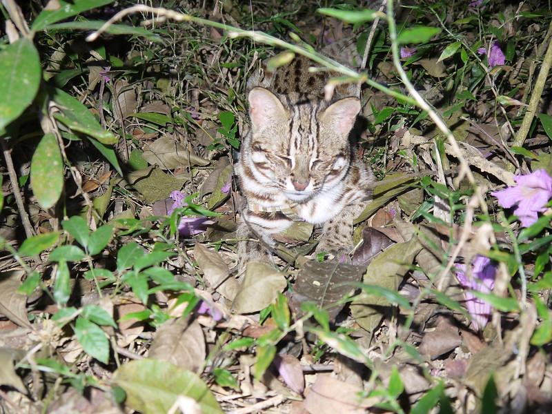 學者研究指出石虎瀕絕,卻遭苗栗居民嗤之以鼻,台灣社會恐怕得找出居民與石虎共生之路。(攝影:陳美汀)