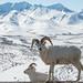 Dall Sheep by DenaliNPS