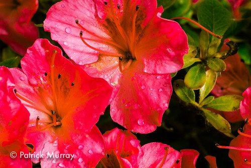 Rhododendrons_7