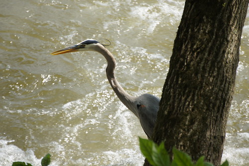 Blue Heron, Harpers Ferry