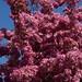 Griesbach Cherries 4