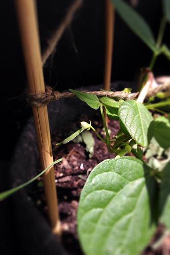 Calima bean plant