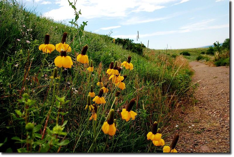 Prairie Coneflower (Mexican Hat) 15