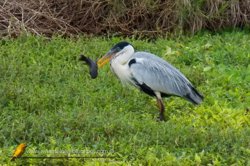 Garza mora (White-necked Heron) Ardea cocoi