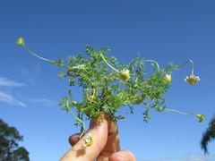 Cotula turbinata plant NC1