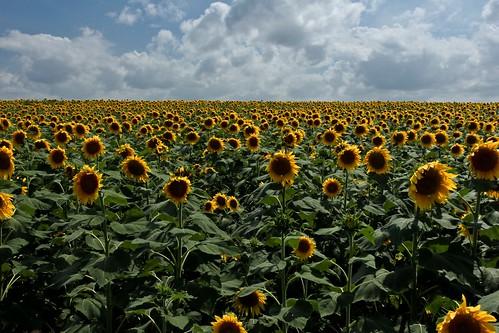 texas sunflowers elliscounty