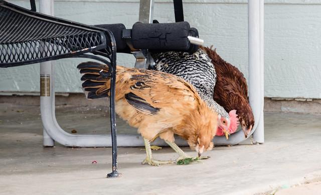 3 Backyard Chickens