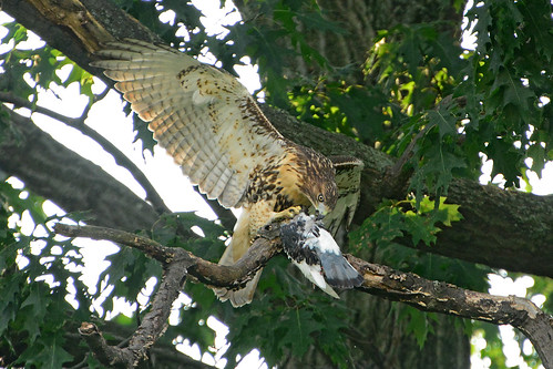 Juvenile Cathedral Hawk & Prey - 3918