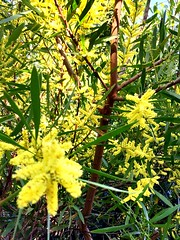 For a country which celebrates summer so much, it's rather ironic that the national colours are the magnificent Green and Yellow of the Winter flowering wattle.