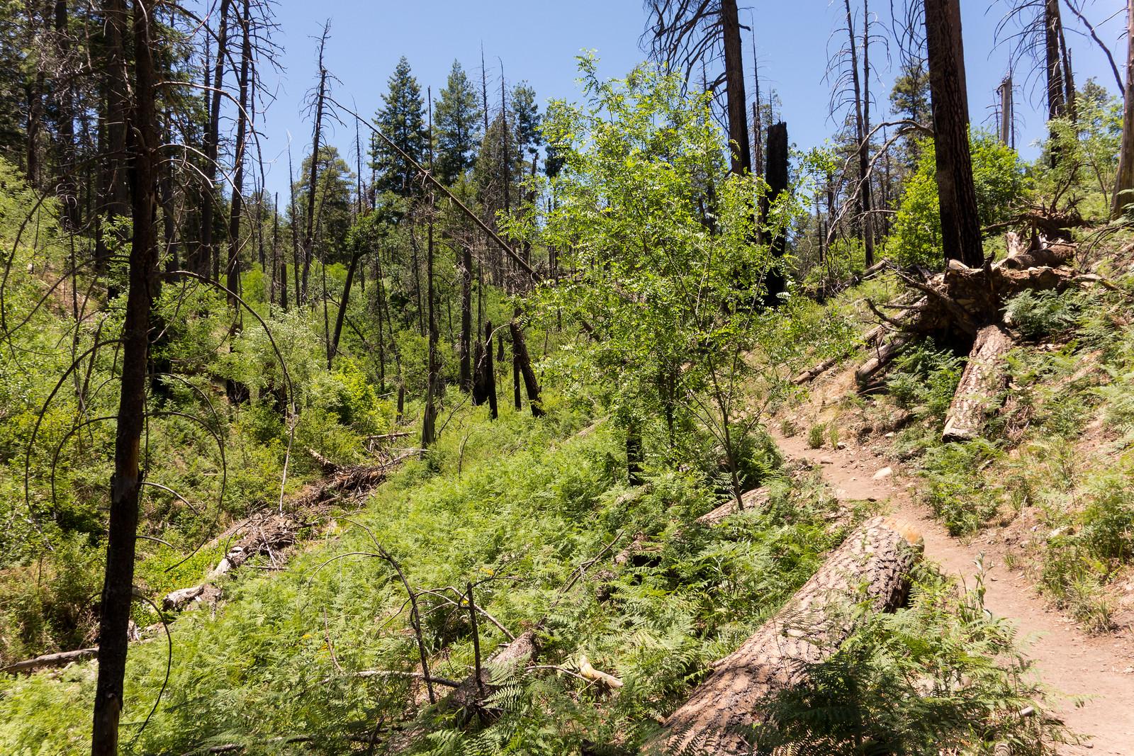 1406 Ferns on the Marshall Gulch Trail