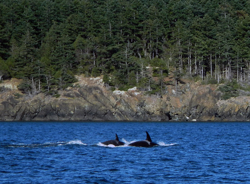 Deception Pass Orcas