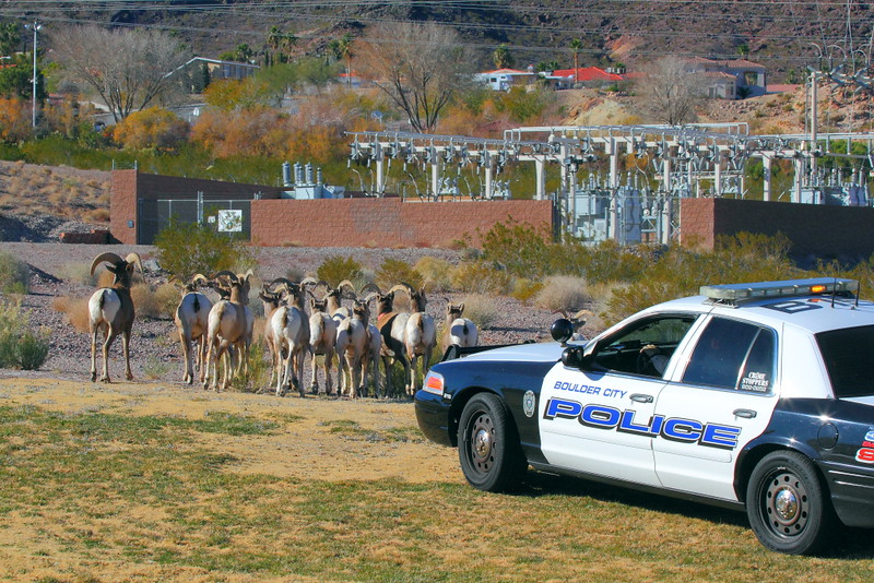 "IMG_1291 Boulder City Police ""Herding"" Bighorn Sheep away from US-93"