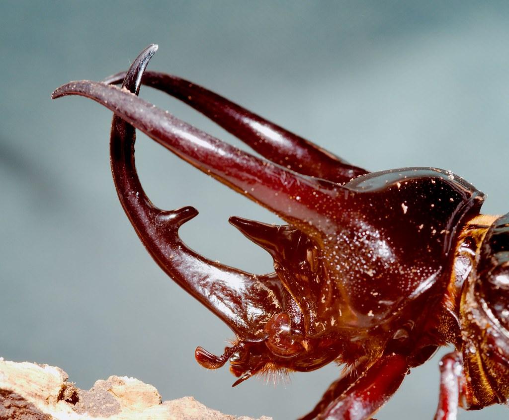 Atlas Beetle (Chalcosoma atlas)_4