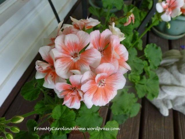 July1-geranium