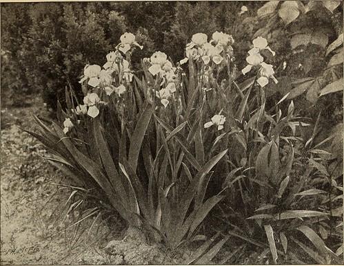 daffodils seeds
