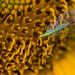 common green lacewing on sunflower