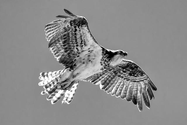 Monochrome Osprey