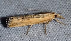 # 5417 – Pediasia dorsipunctellus
