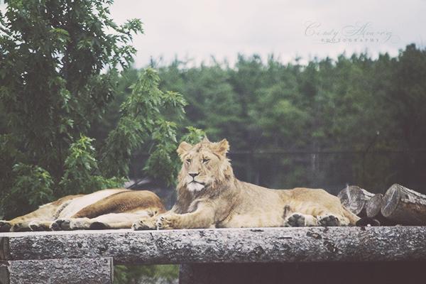 blog lions a