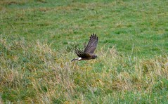 Hen Harrier ( Circus cyaneus ) at Wexford Wildfowl Reserve on 16/11/12. Same place same time. Same bird?