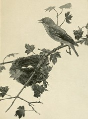 """Image from page 22 of """"The first book of birds;"""" (1899)"""