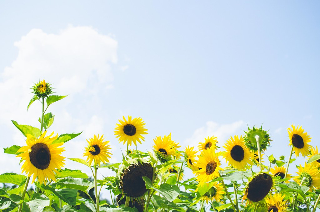 Photo Finish:  Sunflowers & Summer Skies | personallyandrea.com