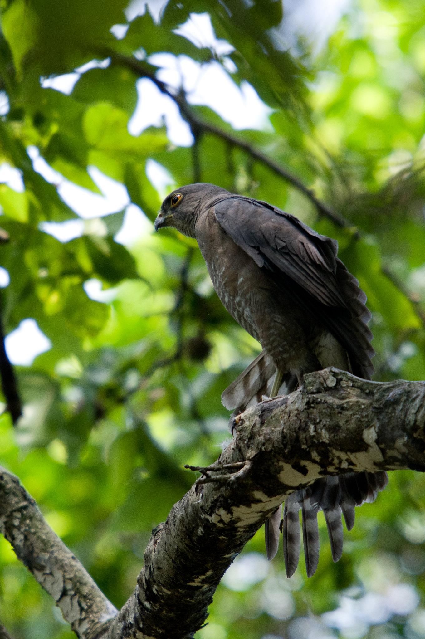 松雀鷹展翅