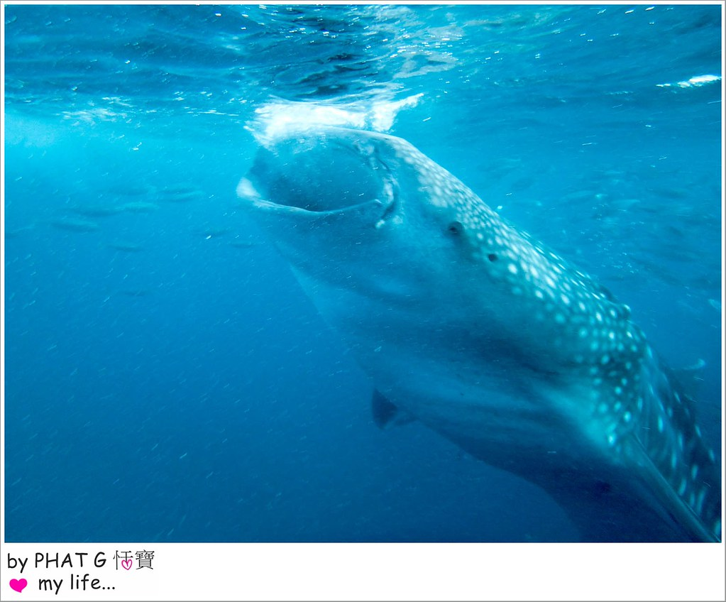 cebu whale shark 14-2