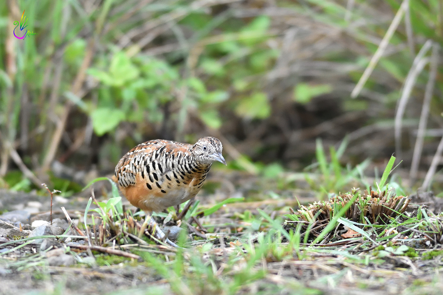 Barred_Buttonquail_1804