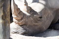 Rhino Face Closeup