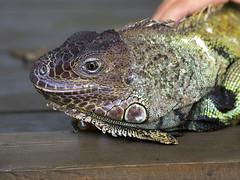 Memphis Zoo 08-31-2016 - Iguana 1