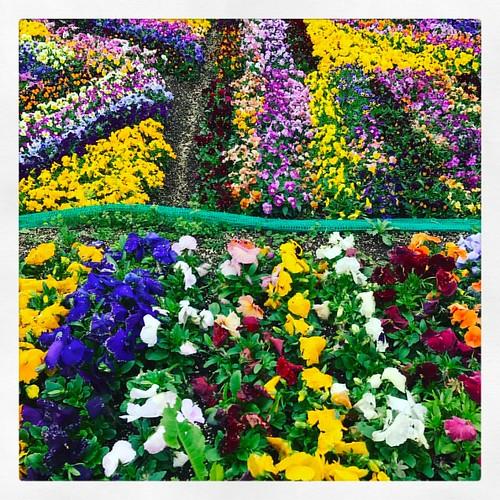 Carpet of Violets