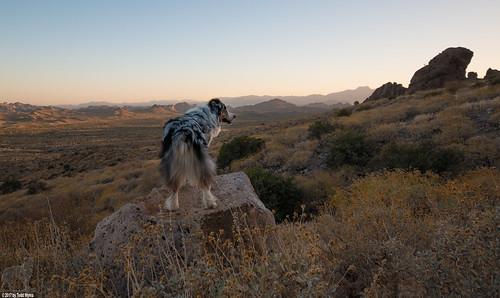 aussie australianshepherd dog lostdutchmanstatepark bluemerle