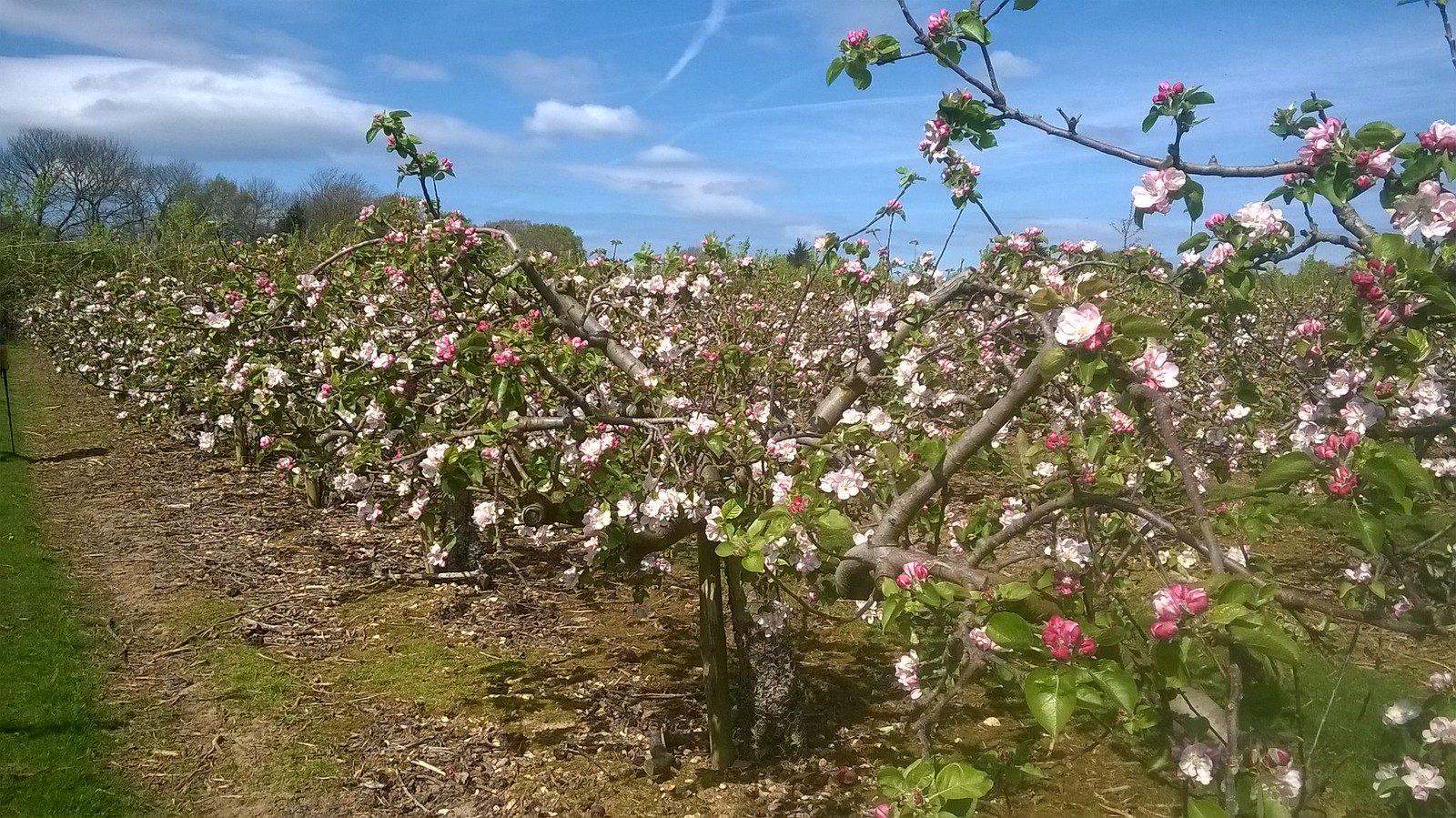 Apple blossom before lunch